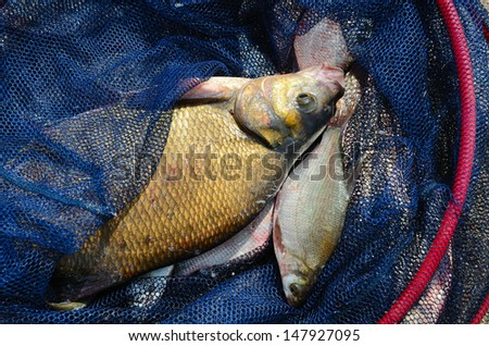 Close up of a fishing net with big bream - stock photo