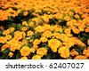 Close-up of a flowerbed of bright orange autumn marigolds. - stock photo