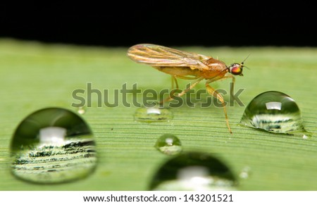 Close-up of a fly (Rhagionidae) and droplets of water - stock photo