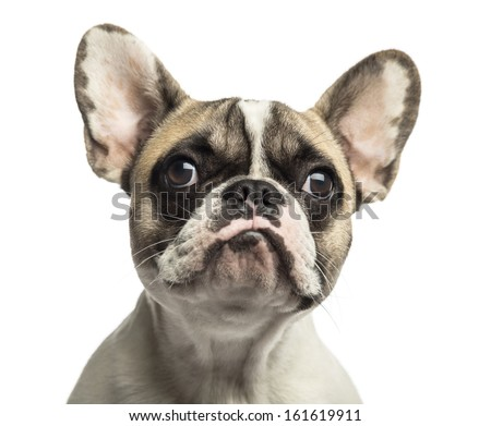 Close-up of a French Bulldog, isolated on white - stock photo