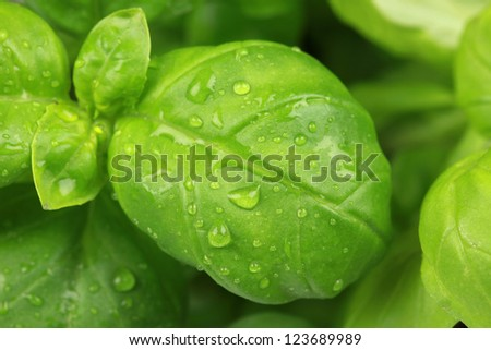 Close up of a fresh basil leaf (herb) - stock photo
