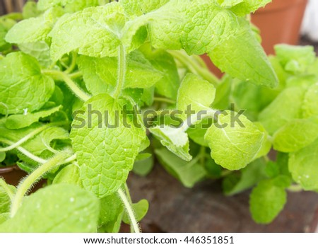 Close up of a fresh green mint plant