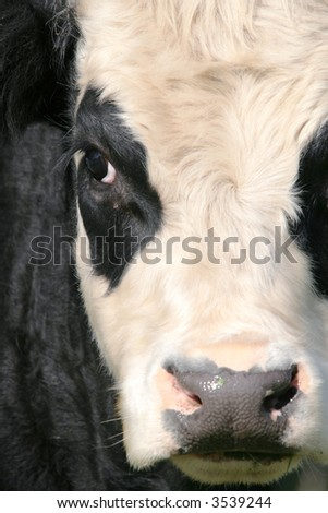 Close up of a Friesian cow face with two black patched eyes - stock photo