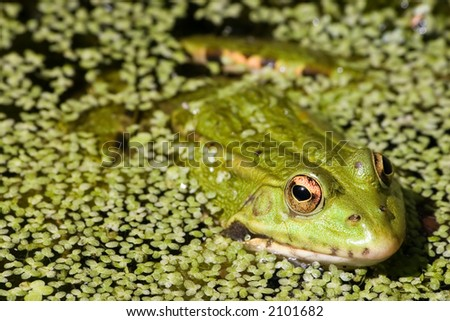 Close-up of a frog on a lake - stock photo