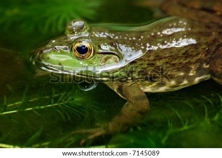 close up of a frog swim in a pond
