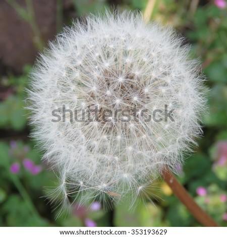 Close Up Of A Full Dandelion Clock - stock photo