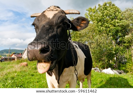 Close up of a funny cow - stock photo