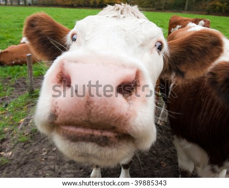 Close-up of a funny cow on on farmland in the Netherlands - stock photo