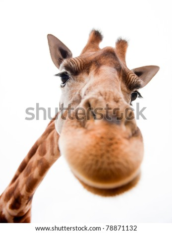 Close-up of a Funny Giraffe on a white background - stock photo