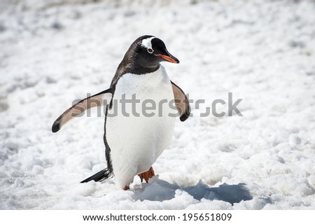 Close up of a Gentoo Penguin (Pygoscelis papua) in Antarctica on the white snow - stock photo
