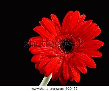 close up of a gerbera daisy - stock photo