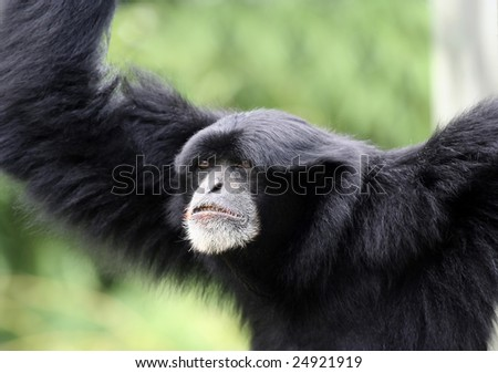 Close up of a Gibbon