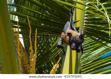 close up of a gigantic bat, seen on maldives - stock photo
