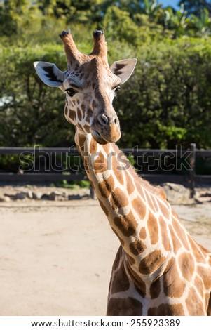 Close-up of a giraffe. - stock photo