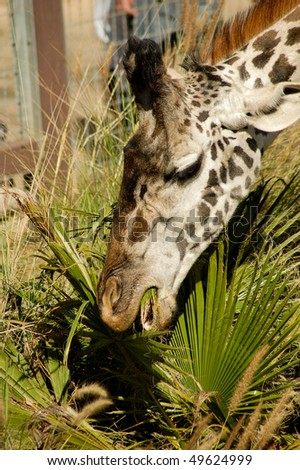 close up of a giraffe eating palm leaves