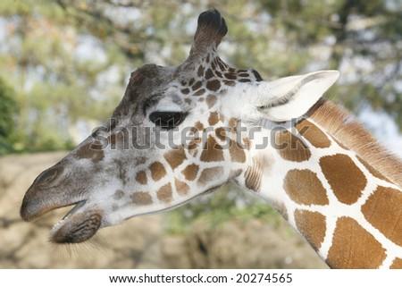 Close up of a Giraffe Head - stock photo
