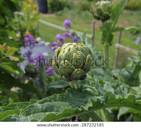 Close Up of a Globe Artichoke on an Allotment in Somerset, England, UK - stock photo