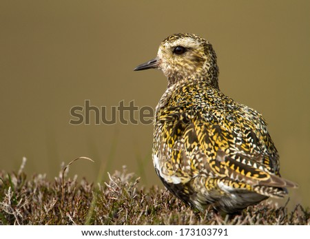 Close up of a golden plover.