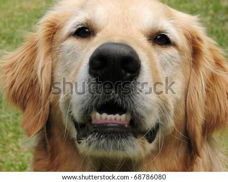 Close up of a golden retriever dog - stock photo