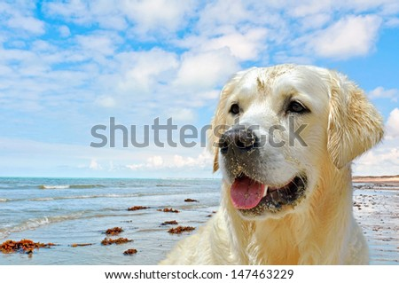 close up of a golden retriever with ocean and blue sky  as background