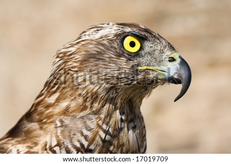 Close-up of a goshawk, shallow dof, focus is on eyes.
