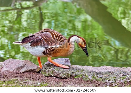 Close-Up of a gray-brown  duck in their natural habitat. - stock photo