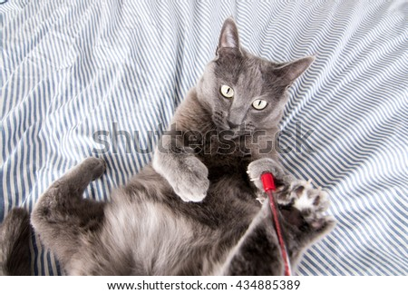 Close up of a Gray Cat Relaxing on Blue Striped Sheets Laying on Back Playing