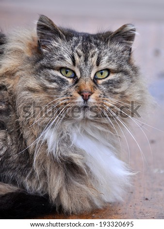 Close up of a gray striped fluffy cat. Maine Coon