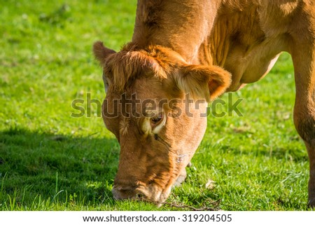 Close-up of a grazing cow on green grass - stock photo