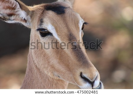 Close up of a grazing impala in Kruger National Park in South Africa