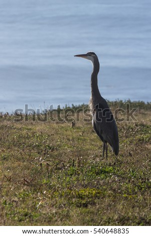 close up of a great blue heron standing on grassy mound with the pacific ocean in the background