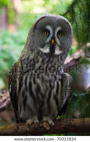 close up of a Great Grey Owl or Lapland Owl Strix nebulosa - stock photo
