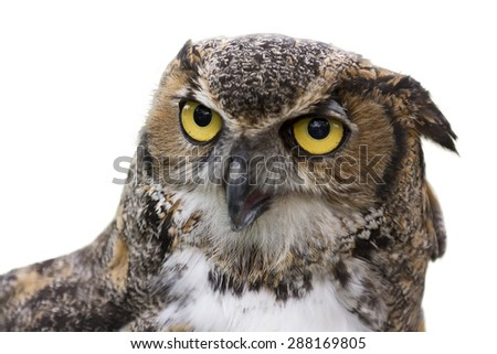Close up of a Great Horned Owl also known as the Tiger Owl.  It's a large owl native to the Americas. Seen here isolated and placed on a pure white background. - stock photo