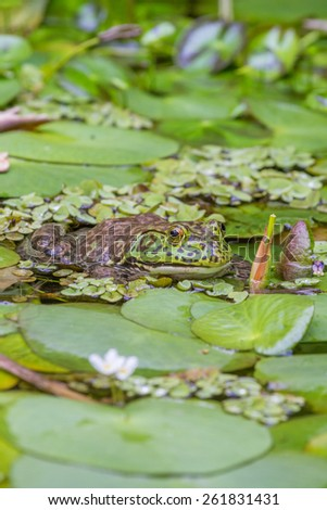 Close up of a green toad lurking in a pond - stock photo