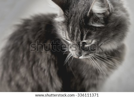 Close up of a grey cat looking down