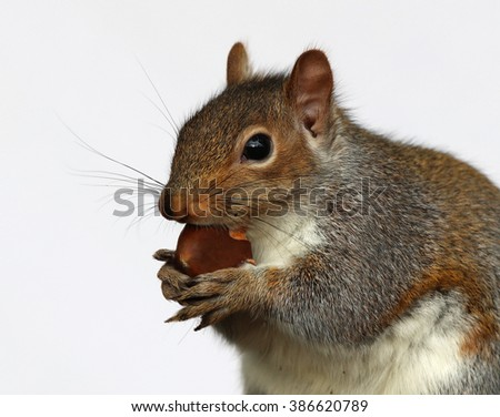 Close up of a Grey Squirrel eating a chestnut