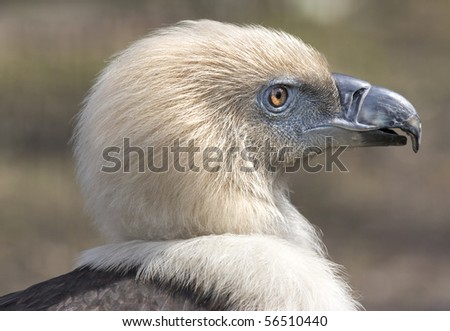 Close-up of a Griffon Vulture - stock photo