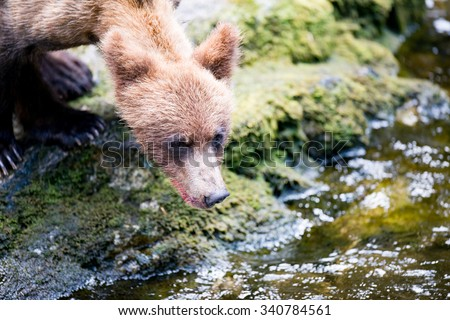 Close up of a grizzly cub with it's head near a river looking for salmon
