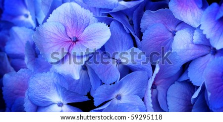close up of a group blue and pink hydrangea - stock photo