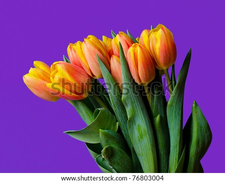 close up of a group of colorful tulips