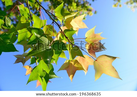 Close up of a group of maple leaves.