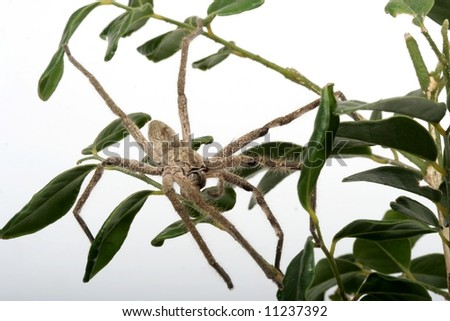Close up of a hairy tarantula spider in a leafy tree - stock photo
