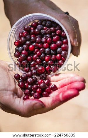 close up of a hand holding a bunch of fresh picked huckleberries in the oregon forest - stock photo
