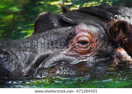 Close up of a head of the hippopotamus who is in water