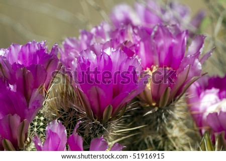 Close-up of a Hedgehog Cactus in bloom - stock photo