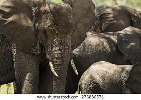 Close-up of a herd of elephants, Serengeti, Tanzania, Africa - stock photo