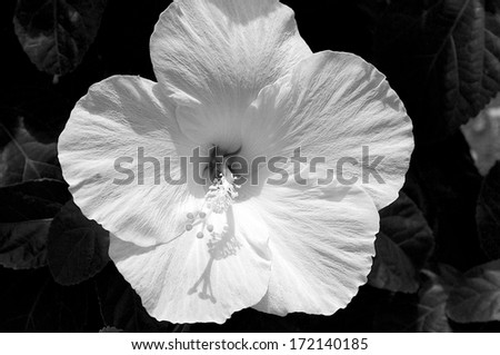 Close up of a Hibiscus blossom in Florida. - stock photo