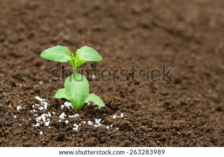 Close up of a holy basil plant in fertile soil with chemical fertilizer - stock photo