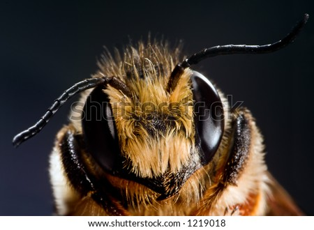 Close-up of a honey bee - stock photo