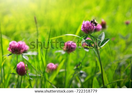 Close-up of a honey bee collecting nectar from pink clover flower.